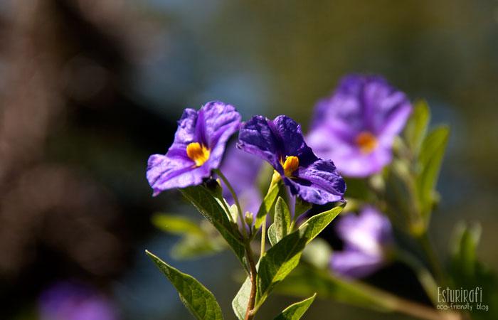 Un paseo por mi jardín #ecofriendly #solanum #flower