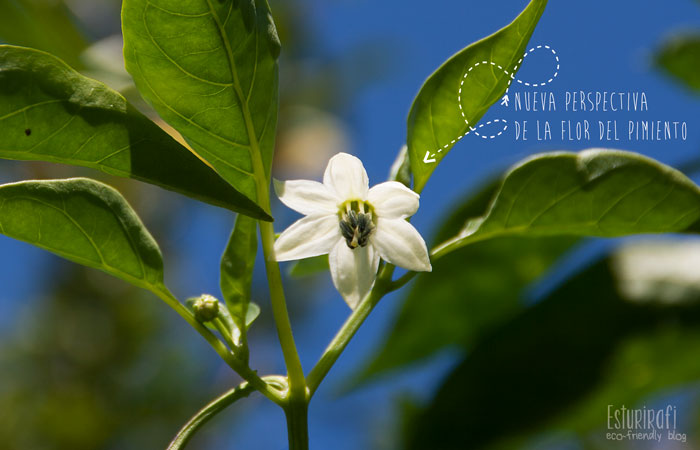 Un paseo por mi jardín #ecofriendly #flower #pepper