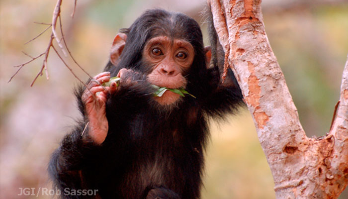 Movilizate por la selva Instituto Jane Goodall chimpances