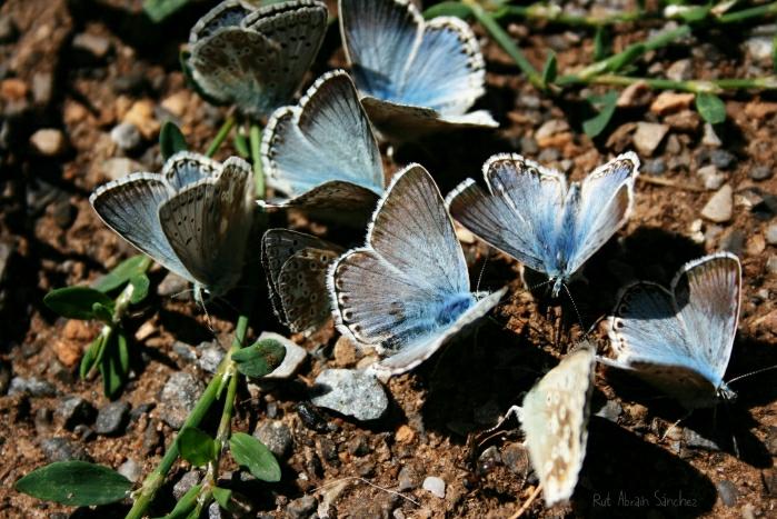 Mariposas azules en Somiedo