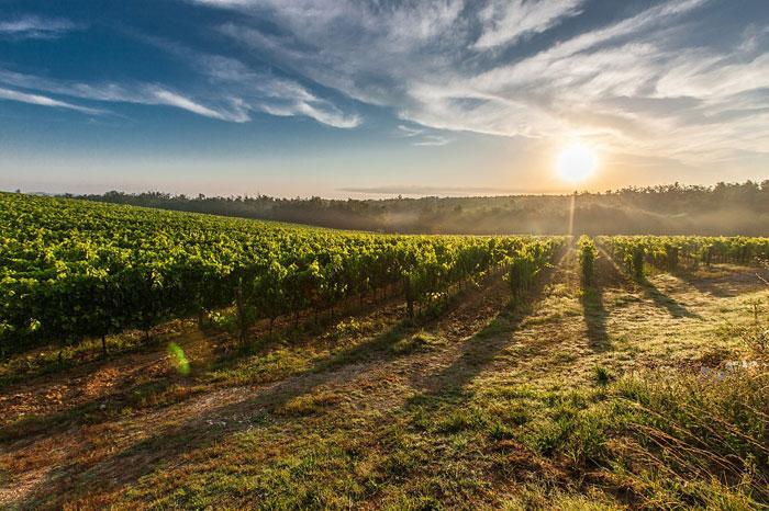Trabajar en un viñedo a cambio de alojamiento y comida